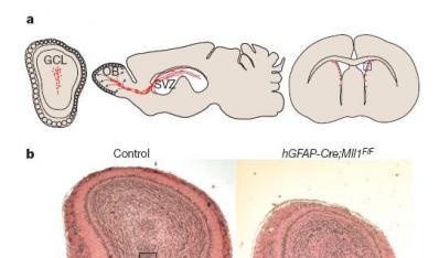 脑中某些区域生成新神经细胞的机制