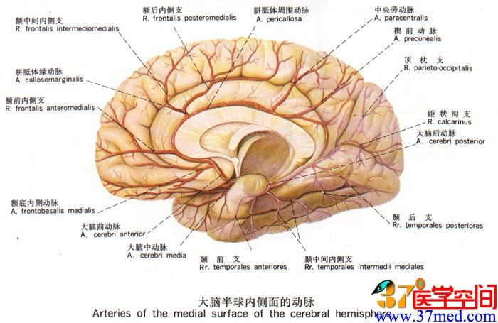 皮质脊髓束手绘图