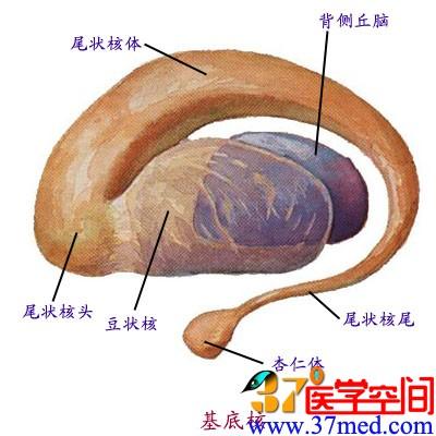 端脑解剖结构图