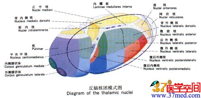 间脑结构图及功能图