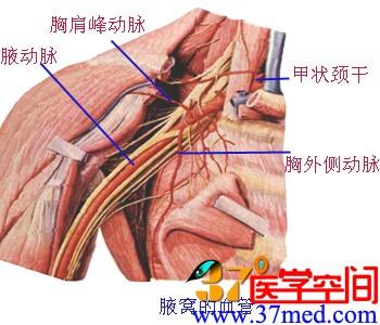 锁骨下动脉及上肢动脉 - 解剖学基础理论-医学教育网