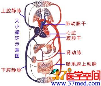 循环系统结构图心脏和血管