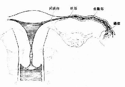 各年令女性生殖器图_女性内生殖器 - 妇产科学基础理论-医学教育网 - 37度医学网