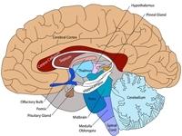 腹侧纹状体属于陈述性记忆系统还是程序性记忆系统?