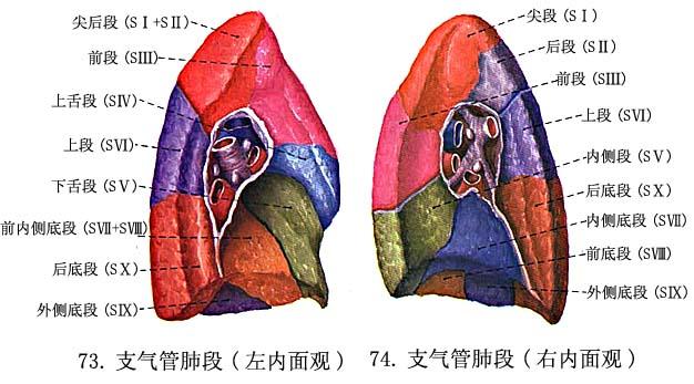 肺lung - 解剖学基础理论-医学教育网 - 37度医学网