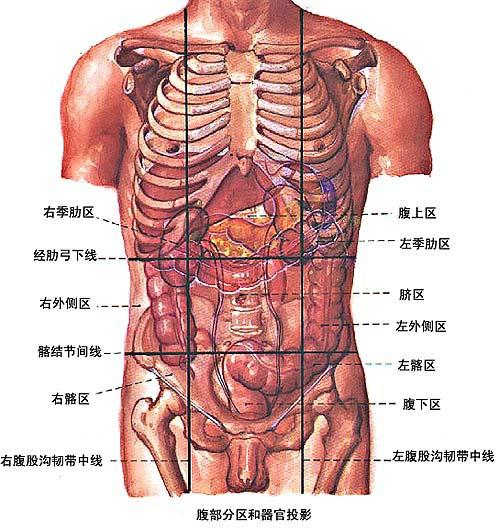 肝解剖结构图片大全
