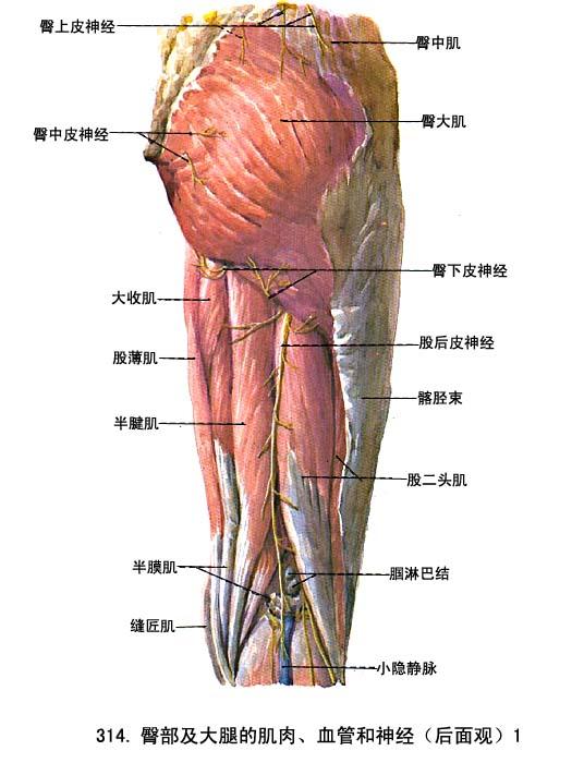 下肢肌 - 解剖学基础理论-医学教育网