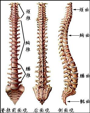 人体躯干骨骼结构图